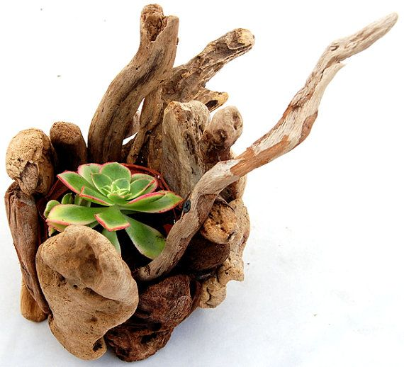 Succulent Plant, Aeonium Haworthii Kiwi In Small Handmade