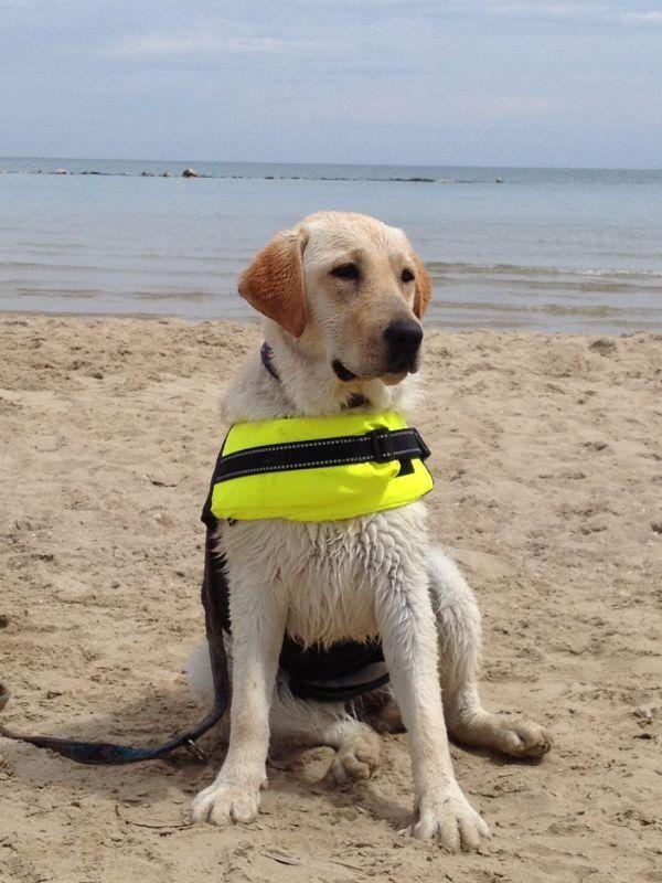Labrador da salvataggio