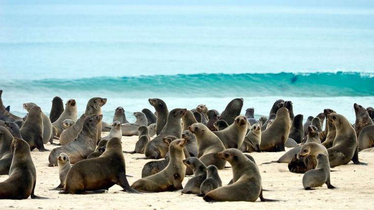 Les otaries de Cape Cross - Situé à 128 km au nord de Swakopmund, Cape Cross abrite la plus importante population d'otaries à fourrure de Namibie : 100 000 à 150 000 individus y vivent.