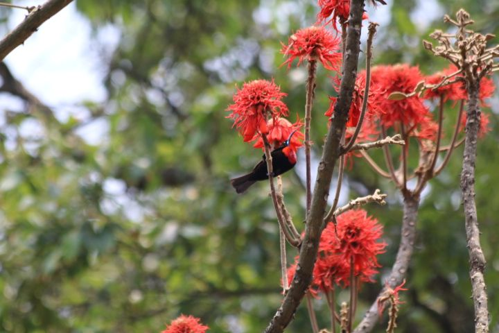 scarlett chested sunbird