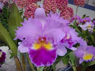 japan grand prix orchid show / cattleya | Japan Grand Prix International Orchid Festival 2002 Cattleya Hybrid