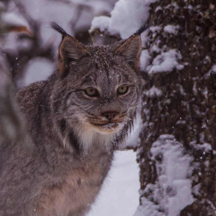 Ghost of the Forest by David Johnson on Capture Minnesota // Canadian Lynx moving silently through the boreal forest