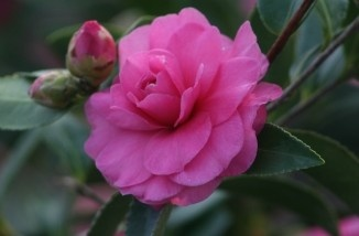 1000 Images About Camellia Plants On Pinterest Seasons