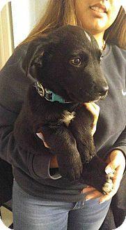 MCLEAN, VA - Hound (Unknown Type)/Corgi Mix. Meet Radley, a puppy for adoption. http://www.adoptapet.com/pet/17538962-mclean-virginia-hound-unknown-type-mix