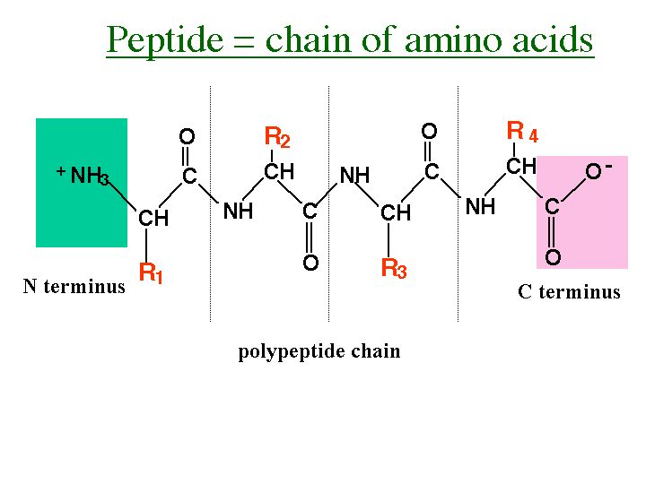 Peptide - A compound consisting of two or more amino acids linked in a chain, the carboxyl group of each acid being joined to the amino group of the next by a bond of the type -OC-NH-