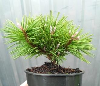 Benjamin Mugo Pine - Pinus mugo 'Benjamin'Mugo Pine, Minis Gardens, Fairies Gardens, Gardens Design, Gardens Jardineros, Gardens Center,  Flowerpot, Miniatures Gardens, Gardens Plants