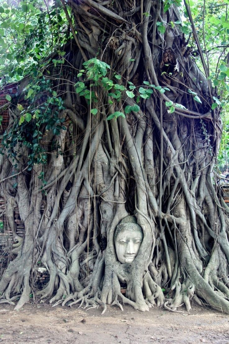 Buddha Head in Tree Roots, Wat Mahathat, Ayutthaya Photo - Visual Hunt