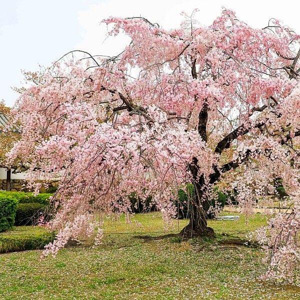 Cherry Blossom Himeji Castle Japan Japan Cherryblossom Cherryblossomjapan Triplelights Triplelightstours Tri Cherry Blossom Japan Cherry Blossom Japan