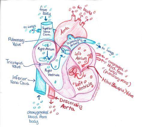 Color heart diagram   Nursing school notes, Medical ...