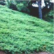 """Blue Pacific 12"""" h x 6'+w - ... we only plant on large slopes.  This plant is a great erosion controller and will spread up to 12' in width.  The blue foliage is needle-like. Fast growing."""