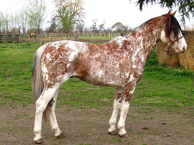 Criollo stallion Chusco Gran Fantasma
