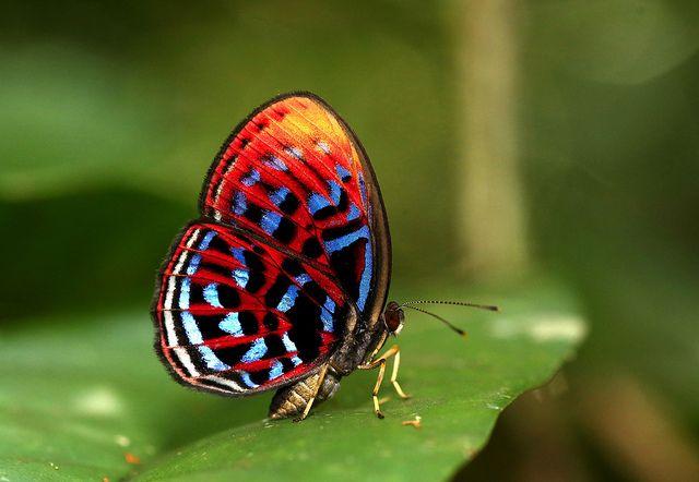 Malay Red Harlequin-Paralaxita damajanti TheMalay Red Harlequin, speciesParalaxita damajanti (Lepidoptera - Riodinidae), is a striking butterfly native topeninsular Malaysia, Sumatra and Borneo.