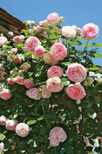 Rosier grimpant Pierre de Ronsard. C'est un rosier grimpant créé en 1987. Bien qu'il ne s'agisse pas d'un rosier ancien, cette variété moderne à grandes fleurs produit des roses aux formes anciennes et romantiques. Le rosier grimpant Pierre de Ronsard fait partie des plus beaux rosiers parmi les rosiers grimpants. Il n'a pas de parfum ou à peine...
