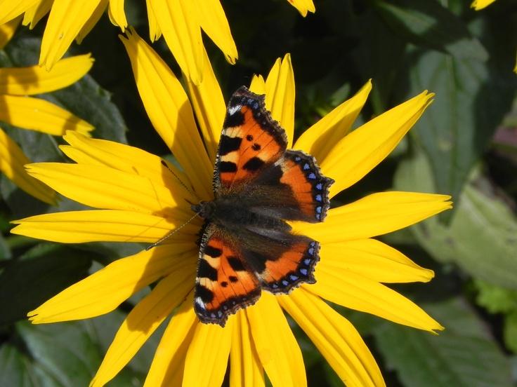 Butterfly on Rudbeckia