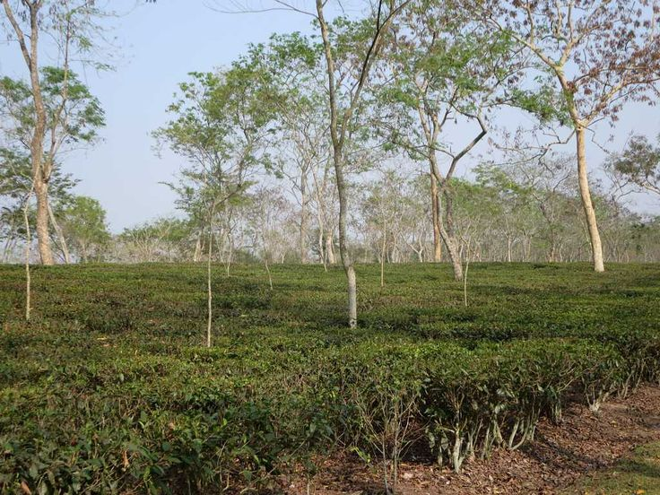 Srimongal is one of the main tea growing areas in Bangladesh and new strains are developed at the Tea Research Institute.