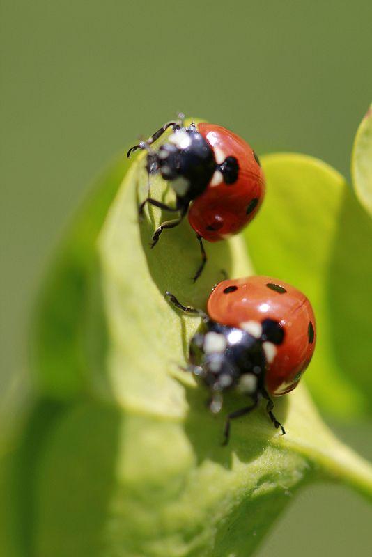 les 48 meilleures images du tableau les insectes sur pinterest insectes coccinelles et. Black Bedroom Furniture Sets. Home Design Ideas