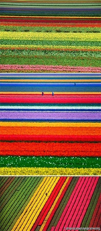 Holland tulip flower farm. I would like to skydive over this... or maybe take a hot air balloon ride :)