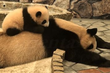 You Need This Baby Panda Video Right Now