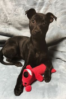 ●12•28•17 SL● •■•CONNECTICUT•■• ☆SUPER URGENT☆ ADOPT PUPPY DOG Remmie, 3 months old, Female Terrier Mix breed, found as a stray, good with dogs, good with cats, good with kids.