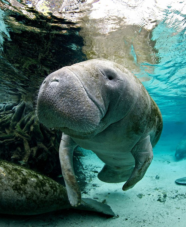What do manatees provide to a Florida environment?