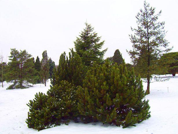 Bushes Google Search Evergreen Trees Shrubs Evergreen