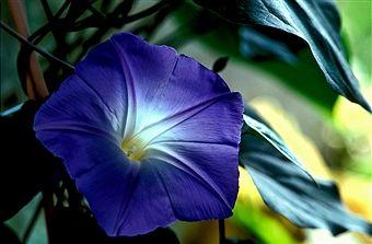 Blue Bindweed ( Convolvulus sabatius ) Flower