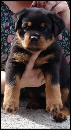 """Brewhaus Knockout Stout """"Tyson"""" (Brewhaus Rottweilers)"""