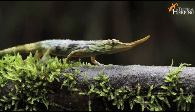 pinocchio lizard screen shot - thought to be extinct for the last 50 years spotted again.