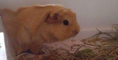 APAEC (Asociación Protectora de Animales Exóticos de Cataluña): COBAYA EN ADOPCIÓN