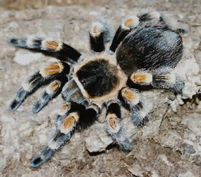 Giant Tarantula spider, Tarantula Pictures, Tarantula Facts, Information, Habitats, News   Most Amazing Things in the World, Incredible, Cool, Unique Things on Earth