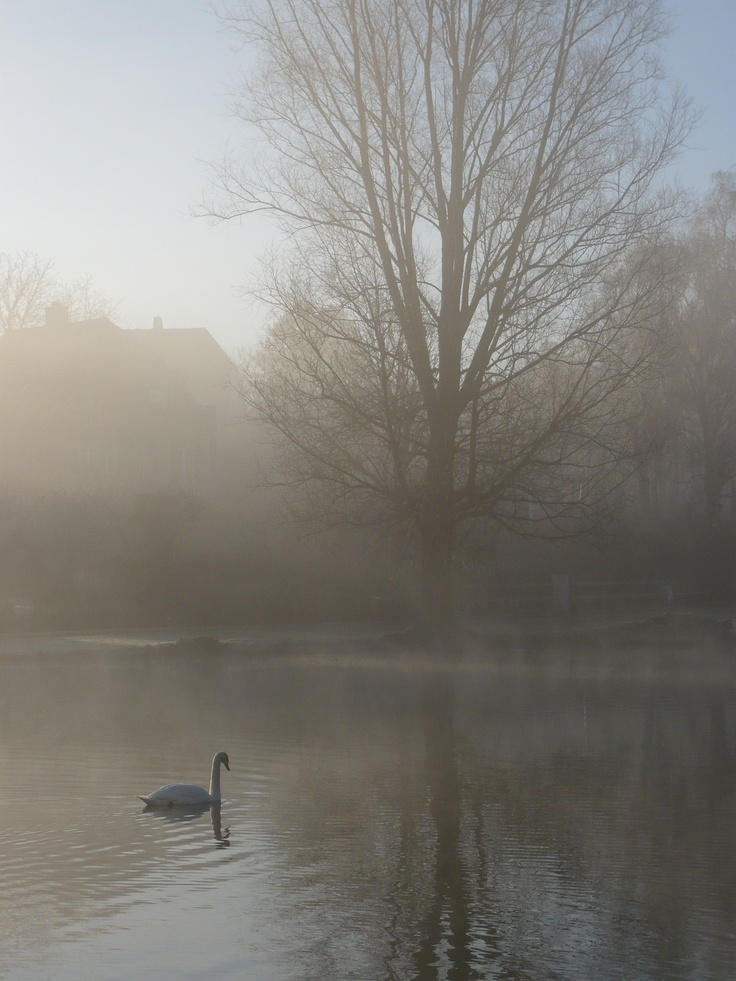 Swan at Gentofte Lake on a misty morning!