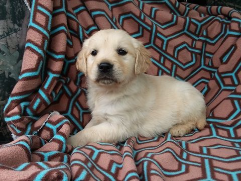 Golden Retriever Puppy For Sale In Cantril Ia Adn 70530 On