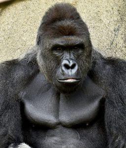 Petition Demands Justice for Harambe as Critics Blame Parents Cincinnati Zoo for Gorillas Death