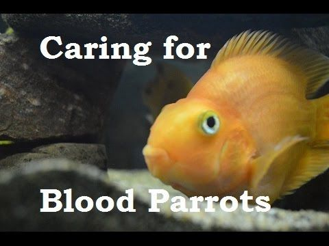 443 best aquariums other fish friends freshwater for Parrot fish facts