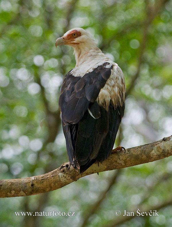 Palm-nut Vulture Photos, Palm-nut Vulture Images | NaturePhoto-CZ