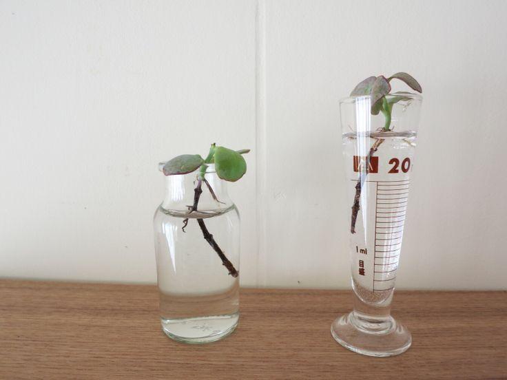 多肉植物を水栽培⁈