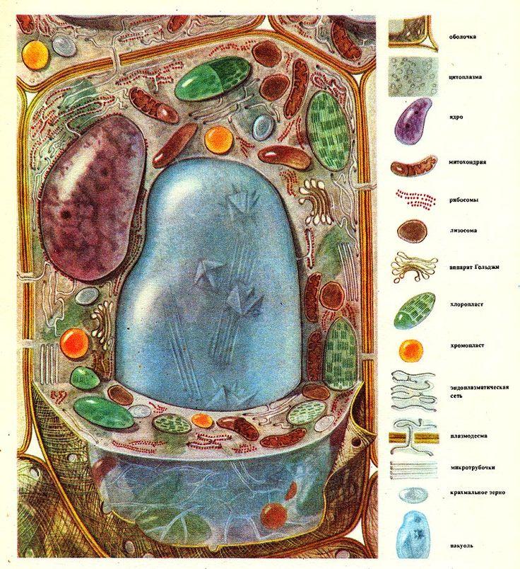 Схема строения растительной клетки.