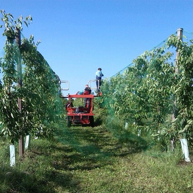 #ilovepomario si montano le reti sui ciliegi!