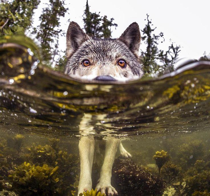 Редкие морские волки, которые живут возле океана и плавают в нем часами
