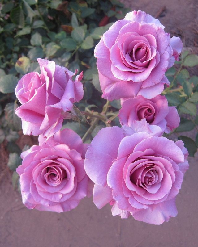 "Sweetness rose, picture by Seaweed in Organic Rose Forum in ""Environmental reasons for NOT spraying with chemicals"""