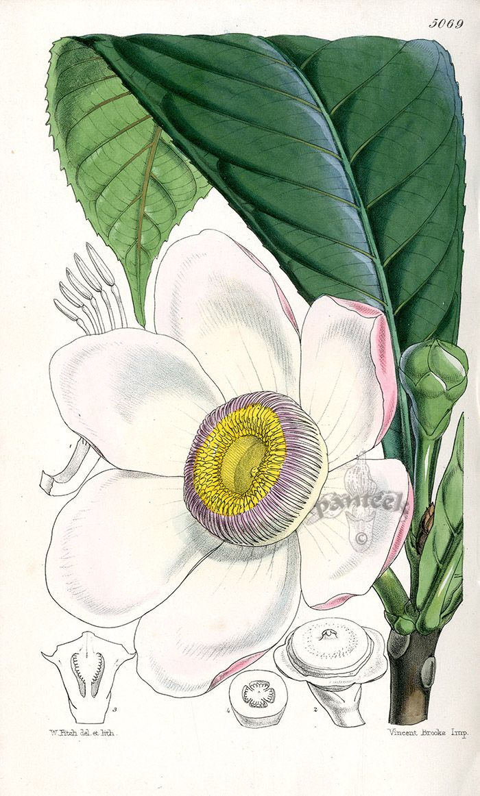 Gustavia Insignis from Plants from Royal Garden of Kew by W.H.Fitch 1853-1871