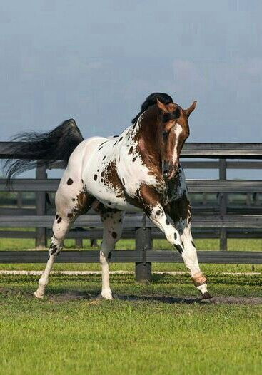 Appaloosa Stallion, Secret Colors. Photo by Stunning Steeds