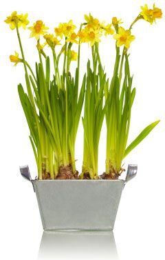 Going to try my hand at forcing daffodils to grow and bloom indoors foor all my decs.