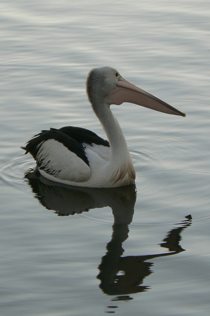 Pelican,Tin Can Bay, Queensland,Australia