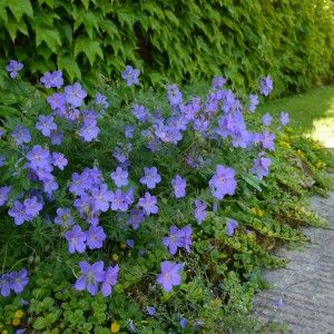 Geranium 'Johnson's Blue'. Herbaceous perennial will die back over winter. Flowers early summer.
