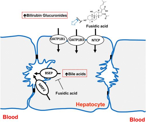 Inhibition ofHepatobiliary Transport Activity bythe Antibacterial Agent Fusidic Acid: Insights into Factors Contributingto Conjugated…