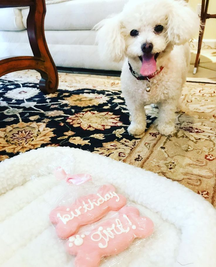 It's my #birthday today! My humans got me a new bed and these monster cookies. What a mistake! The bed will be dirty in no time and the cookies might end up on the bed too. But hey. You're only 9 once! #happybirthdaytome #doggiebirthday #stinkerbella #maltipoo #maltipoosofinstagram #dogslife #petsofinstagram