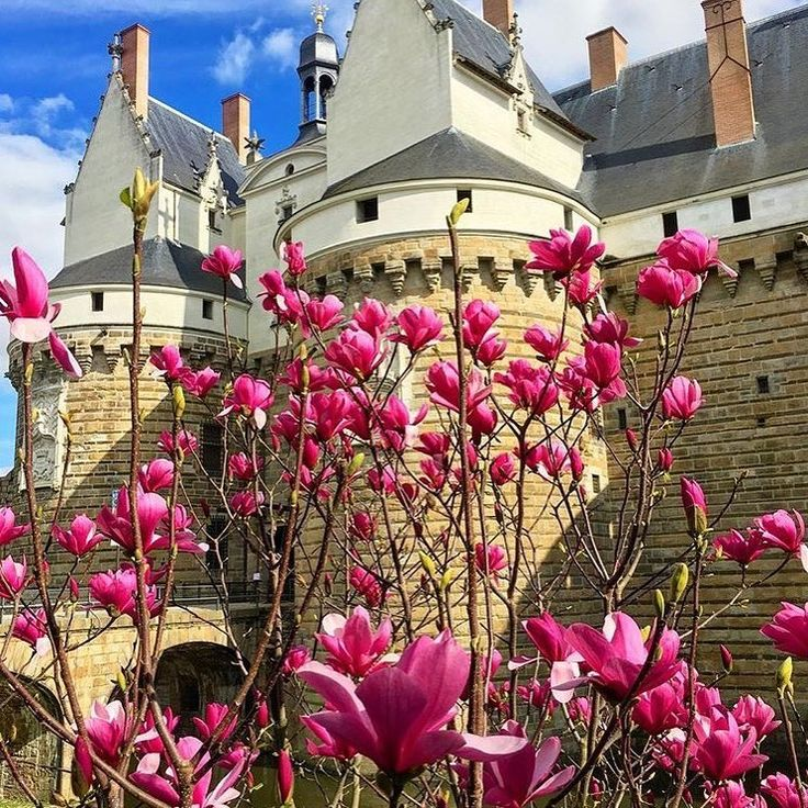 Les magnolias s'épanouissent le long du château 🌺 Le printemps n'est pas loin ! #nantes #nantesfr #welovenantes #nantespassion #magnolias #printemps #chateaudesducsdebretagne #chateau #nantescity #nantesville #nantesjetaime #magnolia #fleurs #arbre