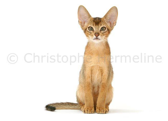Photo chat Abyssin, 0708120001 chat Abyssin en studio assis de face sur fond blanc détourable, petite