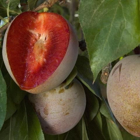 """Look what Luther Burbank gave us! The Elephant Heart plum, full of juice. One of those fruits commercial growers can't handle well, due to the delicate skin. So """"grow your own"""" and enjoy it at home. We are running out of bare root trees of this low-chill-hour plum http://www.groworganic.com/plum-elephant-heart-japanese-semi-dwarf.html"""